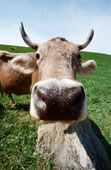 cow-nose