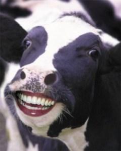 cow-smiling-e1270815298540