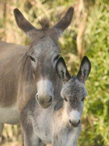 burros1