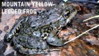 mountain frog