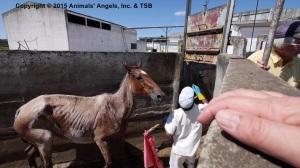 20150317_UY_SG_03_slaughterhouse El Amanecer_emaciated horse (2)