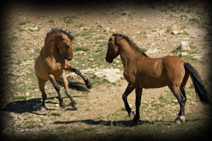 Pryor Mountain Stallions ~ photo by Terry Fitch of Wild Horse Freedom Federation